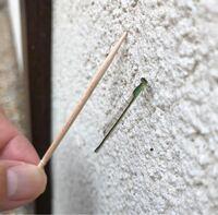 イトトンボについて教えてください。 時々、庭を飛んでいました。 この爪楊枝より細いトンボの名前を教えてください。