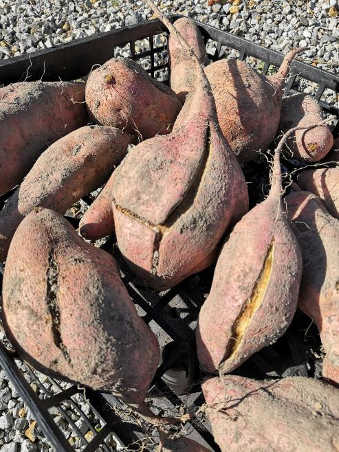 家庭菜園で初めて安納芋をつくり、先日収穫しました。 いろいろ教えて下さい。 ①表面が割れているものがありました。原因は? ②表面が虫食いの跡のような模様があります。虫食いでしょうか? ③写...