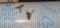 夜に洗濯物を取り込んでふと天井を見てみたら1センチほどのハエみたいな虫が20匹以上止まっていて背筋がゾッとしました。。。 その虫の正体をご存知の方がいましたら教えていただけないでしょうか?