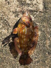 海釣りでゴカイに食いつきました。この魚の名前ご存知の方がおられたら教えてください ♂️