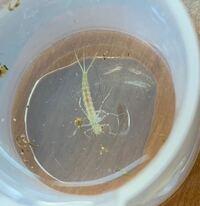 めだかの水槽に突然 現れたんですけど、この生物は何ですか…
