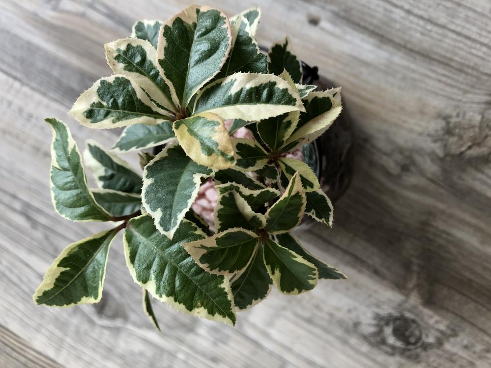 この植物の名前を教えていただきたいです。 ダイソーで購入しました。