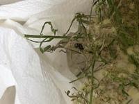 てんとう虫がサナギになったんですが、11日同じままです(´;ω;`) そのまま死んでしまったんでしょうか?