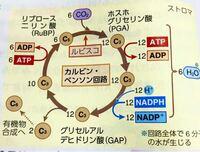 生物のカルビンベンソン回路で、2分子のホスホグリセリン酸が生じると書いてあるのですが、この図でのホスホグリセリン酸の12は何を表していますか?