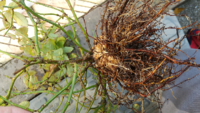 鉢植えのミニバラの鉢を新しいものに替えようと引っこ抜いたら根っこが写真のようになっていました。これって何かの病気なのでしょうか?それとも正常な状態なのでしょうか?どなたか教えて下さい。お願い致します。