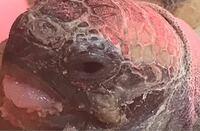 ヘルマンリクガメのベビーです。目の様子がもう1匹のギリシャリクガメと違い炎症を起こしているのではと思い調べてその様子を見比べて見たのですが他の正常な亀達と画像などが混ざっていたり、本当に炎症を起こし...