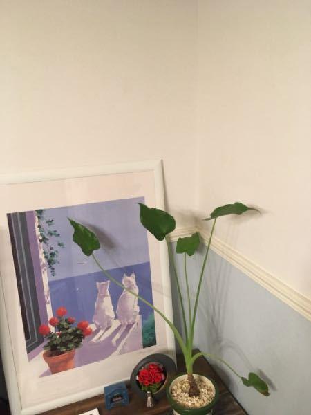 ウチの観葉植物なんですが、これって本当にクワズイモですか?
