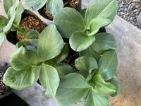 今日、もらった、そら豆の苗です。 葉の先、ふちが黒いのが ありましたが、病気でしょうか?