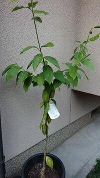 レモンの育て方を教えてください。 知り合いから譲り受けました。今年の2月に購入し、ほったらかしになっていたようです。上の枝は夏に伸びたようですが、下の方の葉っぱが明らかに元気が無い感じです。この先ど...
