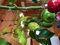 2メートル強のレモンの木です。 3週間ほど前に購入しました。 植え替え時期ではなく寒い時期は室内に 置いておいて来春に植え替えしたほうがと植木屋 さんにアドバイスいただき迎えたレモンの木です。 無農薬というおはなしでした。 しかし到着時は青々していましたが1ヶ月 したいまは、葉が黄色くなる部分多く葉も バラバラ落ちています。 一緒にいただいた肥料も水もあげてはいますが レモ...