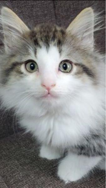 猫の目やにについて。 生後2カ月の子猫の目から目やに(向かって右)が出ています。 少し涙目な感じもして、心配になりました。 猫を飼うのは初めてで、お知恵を拝借させてください。