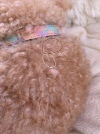 4歳のクリームのトイプードルを飼っています。(血統書にはクリームと書いてありますがほぼアプリ) 最近ふわふわな毛の他に硬い白髪や硬い濃い茶色のような毛が背中全体に生えています。ふわふわな毛に比べて1本で...