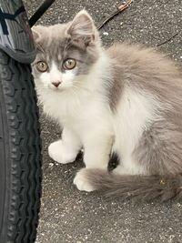 近所にいる野良猫ちゃんなのですが、なんという猫種でしょうか? 子猫のときはとにかくふさふさで可愛くて、、、 いまも近所でたまに見かけるのですが、なんというか、目付きの鋭い大人になりました。笑 ずっと気になっていたので、ご存知の方いらっしゃいましたら教えてください。