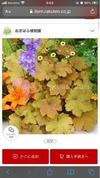 この小さい丸い花は何て名前の花でしょうか? 宜しくお願いします 画像上の黄色っぽい花です