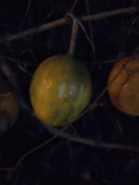 木の実はなんて言う名前ですか?食べれますか?