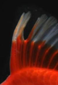 金魚の背鰭なのですが、適切な環境で飼育していれば再生しますでしょうか?