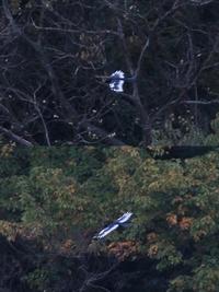 かなり遠かったのですが、羽の縁が白く見た目はカラス? 何と言う鳥ですか?