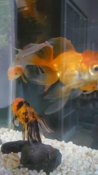 ベストアンサーコイン500枚です。金魚の尻尾にブツブツができています。何かの病気ですか?
