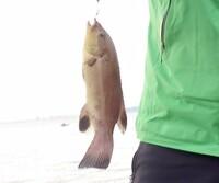 富山県氷見市の海岸で釣った魚ですが、釣り初心者のため、名前がわかりません。 写真を添付いたしましたので、教えて下さい! 宜しくお願いいたします!