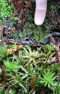 苔の名前を教えてください。  山の公園へ行きました。 見た事の無い苔を見ました。 名前をご存じに方がいらしたお願いします。 3種ございます。