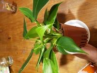 観葉植物にはまり購入したのですが、フィロデンドロンとしか表記がありませんでした。  種類はわかりましたら、教えていただきたいです。