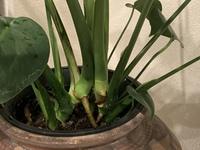 モンステラ 観葉植物 育て方 モンステラを元気にしたい 観葉植物初心者です。 2週間ほど前 花屋でモンステラを買いました。大体2、3日おきに乾いたタイミングで水やり 日中は日に当たる所に置き霧吹きで水を与えてるのですが元気がなくなってきて困ってます。葉っぱに元気がない でも小さい葉っぱは生えてきてます。根っこが元々土の上に出てる事と、根がちょっと茶色っぽいのが気になっています。写真の部...