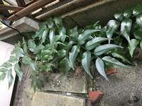 植物に詳しい方に質問です。 日が全く差さない家の裏に茂っている この植物はなんですか? 処分しようか、植え替えようか迷っています。 よろしくお願いいたします。
