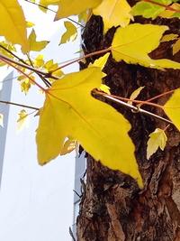 写真のこの街路樹の木の名前が分かる方、御回答をお願いします。写真は今日撮りました。  撮影場所は神奈川県内の都市部の街路樹です。
