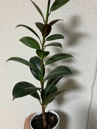 観葉植物の名前を思い出せないです。 誰か教えて頂きたいです。