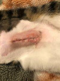 猫の避妊手術後の経過について教えて下さい。 12月25日に避妊手術を受けた猫の傷口です。 術後に医者からは、特別なことはなく普段通り過ごして下さい、赤く化膿したりしたらまた病院へ連れてきて下さい、と言わ...
