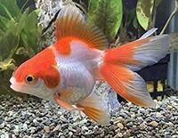 金魚を飼いたいです。でも飼っても飼っても殺してしまいます。家族には水の変えすぎといわれます。砂とか水草は要りますか?どの程度で水換えが必要ですか?水槽やポンプはどんなものが要りますか?楽天とかでオスス メの水槽やポンプを教えて下さい。 飼いたい金魚はやすい写真のようなものを2匹くらいです。 夏や冬の気温対策も教えて下さい。