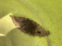 この虫の名前分かりますか? クリオオアブラムシかと思いましたが、違うようです。。