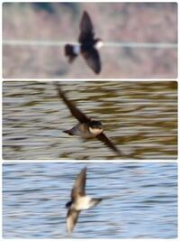 見た目も飛び方もツバメのような鳥が川の上を飛び回っていたのですが、冬にもツバメはいますか? 写真は今日奈良県内にて撮影したものです。 ツバメのように速く飛び、どこにも止まることがなかったのでかなり画...