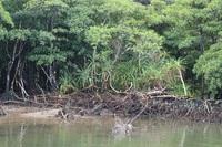 マングローブについて詳しい方、教えてください。 この写真の中央付近の木は何という木でしょうか?