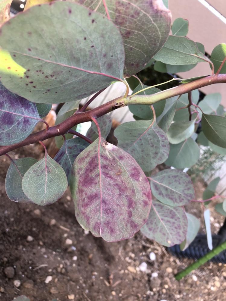 1週間ほど前から、地植えをしているユーカリポポラスの葉に紫色の斑点?のようなものが出てきて元気がありません。 病気でしょうか? 斑点のある葉は取り除いたほうがいいのでしょうか?