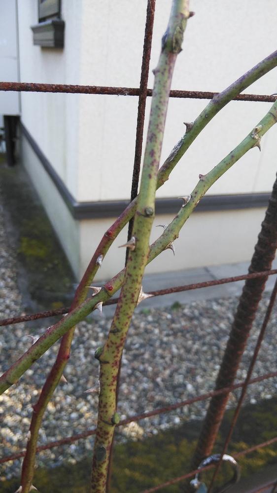 今朝気付いたのですが、つるバラのスパニッシュビューティの枝に、緑のカビのようなものが付いていました。 10 日ほど前に冬の鉢増し、剪定、誘引を済ませたところですが、その時はありませんでした。 全...