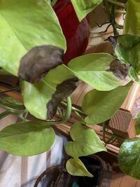 観葉植物のポトスです 葉っぱの半分だけ茶色くなってしまいます 原因を教えてください
