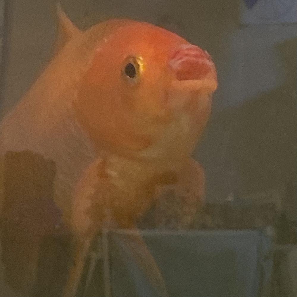 うちの金魚の口が変です。 皮が剥けた様な感じになってます。 これは口腐れ病なんでしょうか… 見てて痛々しく 早くなんとかしてあげたいです。 よろしくお願いします。 (水は写真で見ると汚いだけです。 数