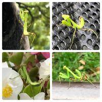 カマキリの種類 写真のカマキリの幼虫について 種類が分かる方、ご教示ください。  7月に福岡県で撮影したものです。 ハラビロカマキリでしょうか。