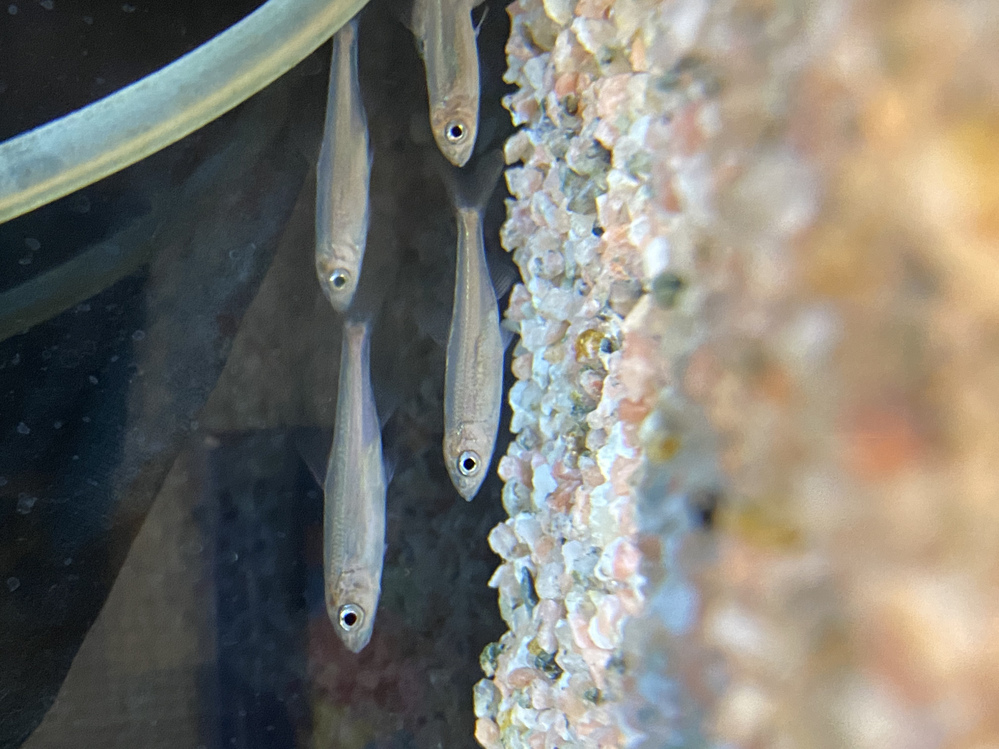 この川魚の名前を教えてください。 令和2年8月下旬、山梨県の川で発見した魚です。