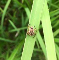 コガネムシの種類 写真のコガネムシについて 種類が分かる方、ご教示ください。  7月に佐賀県で撮影したものです。 セマダラコガネに似ていると思ったのですが、いかがでしょうか。