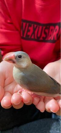 桜文鳥の2ヶ月の雛です。 オスかメスか 性別がわかる方いますか?