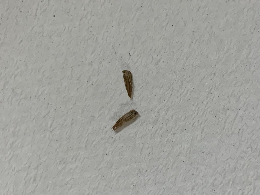 このひっつき虫の名前を教えてください。よろしくお願いします。