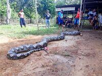 人を喰うアミメニシキヘビって何で日本の家庭で飼育許可されているのですか?危険ですよね?禁止にすべきですよね?