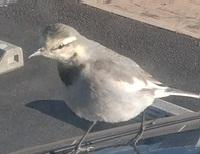 この鳥の名前が知りたいです。ご存じの方教えていただけませんか。