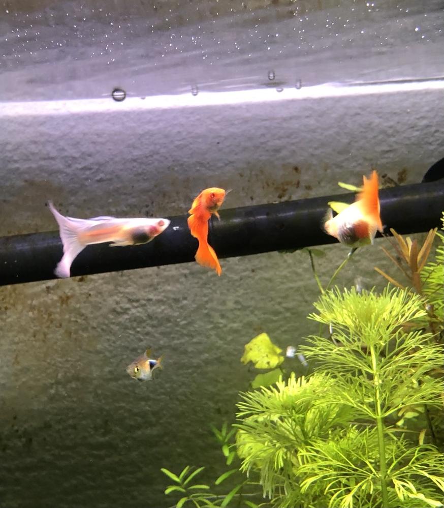 グッピーのrreaについて 写真のフルレッドのオスメス同士からはrreaが産まれました(購入時の袋の中ですでに産んでいました)。 しかし、先に水槽の中にいた左の青白いrreaのオスとフルレッドの...
