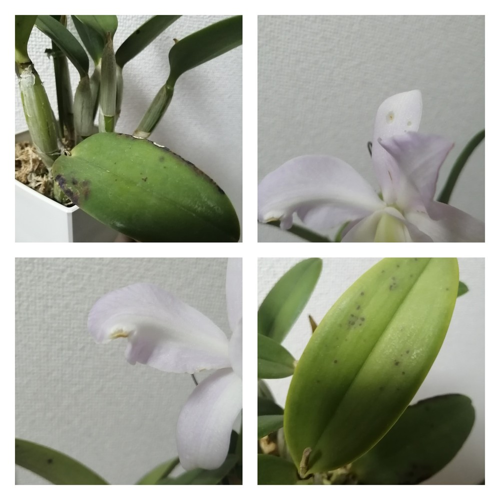 このミディカトレアは病気ですか? 花も全体的に形が整っていないです