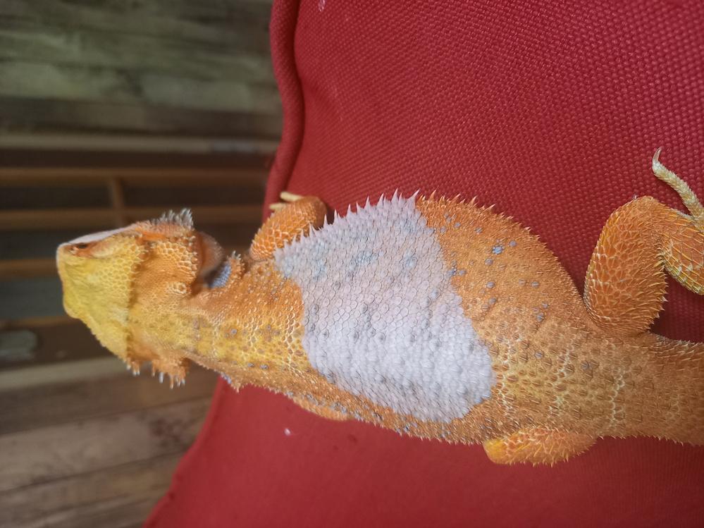 フトアゴヒゲトカゲの脱皮について質問です。 12月に生後生後5ヶ月の男の子をお迎えしました。 背中の脱皮が2回目なのですが今回の脱皮が一部だけで気になりまして質問させていただいてます。 このよう...