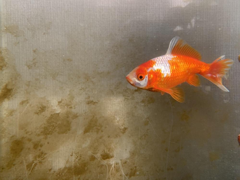金魚の更紗和金の尾に半年前くらいからツリガネムシ病のような白いイボのようなのが現れました。 発生してからも元気で食用旺盛なのであまり気に留めていなかったのですが、徐々に増えていて心配です。ツリガ...