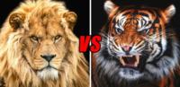 最大級個体同士のライオン対トラはどちらの勝率が高いですか?